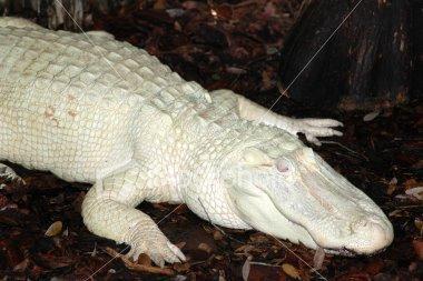 boxan Bilde: albinosi 9 no 15